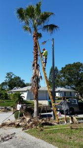 palm tree pruning services gold coast